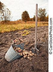 développé, organically, pommes terre, nouveau, récolte, premier