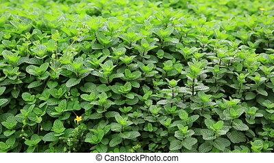 développé, plante, menthe, jardin