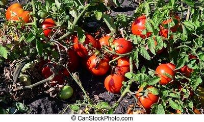 développé, terrestre, tomates, mûre, rouges