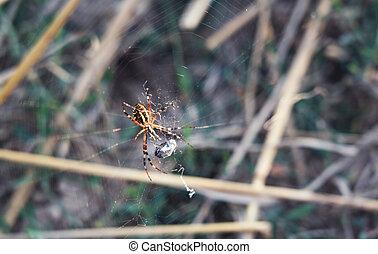 dévorer, araignés, sien, prey.