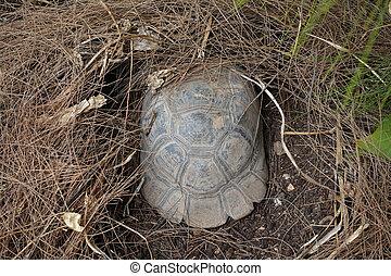 día de verano, tortuga, pino, aestivating, bosque, aguja, caliente, nido, debajo