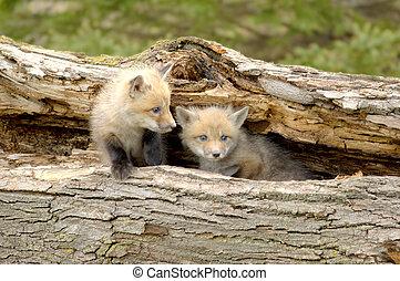 dúo, zorro, cachorros, -, vulpes, rojo