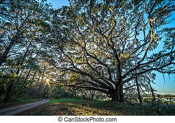 dąb, drzewa, i, piękny, natura, na, zachód słońca, na, plantacja