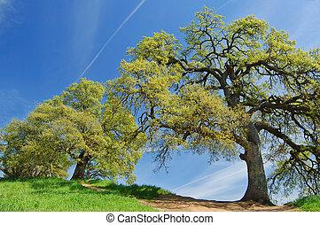 dąb, drzewa, w, wiosna