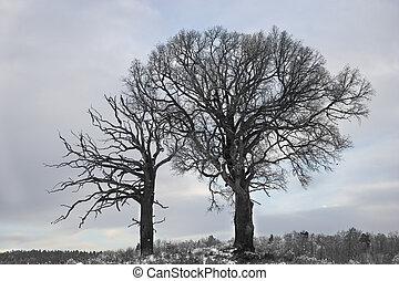 dąb, drzewa, w, zima