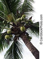 dłoń, kokosowe drzewo