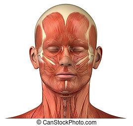 dřívější, systém, svalnatý, anatomie, obličejový, nárys