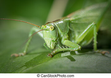 důležitý, list, sedění, nezkušený, bush-cricket, portrét