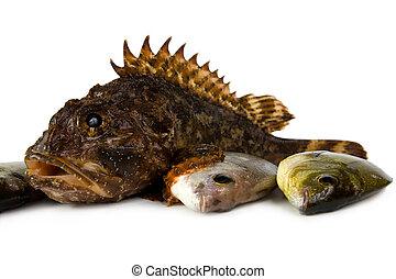 d., annularis, (scorpaena, pez, porkus, marina, l).