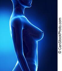d, lateral, bröst, kvinnlig, synhåll, storlek