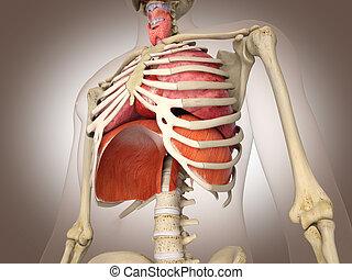 d, organs., rendering., 3, interne, homme numérique, squelette