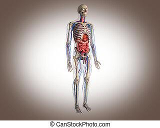 d, organs., rendering., 3, interno, hombre digital, esqueleto