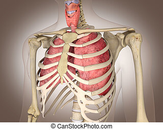 d, organs., rendering., 3, interno, uomo digitale, scheletro