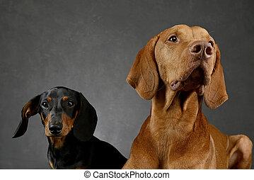 dachshund and Hungarian Vizsla in a studio