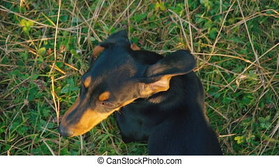 Dachshund breed dog outdoors - dog breed dachshund walking...