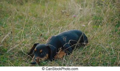 Dachshund breed dog outdoors - dog breed dachshund walking...