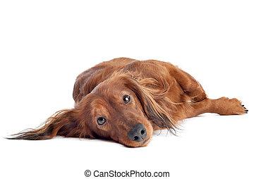 dachshund, davanti, uno, sfondo bianco
