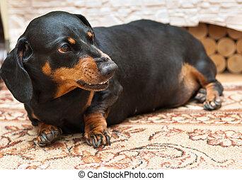dachshund dog - Dachshund dog is at home on carpet