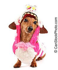 dachshund dog in chinese new year cloth