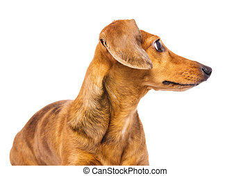 Dachshund dog looking back