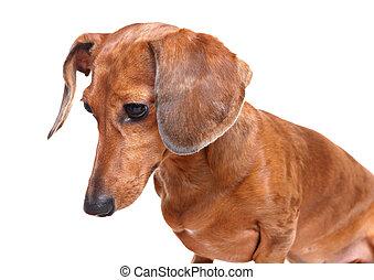 dachshund dog looking down