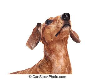 dachshund dog looking up