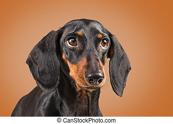 Dachshund dog on a brown background