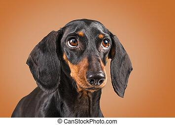 Dachshund dog on a brown background