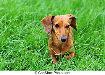 Dachshund dog on grass