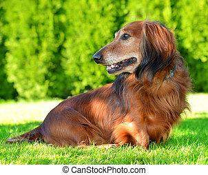 Dachshund dog on the green grass