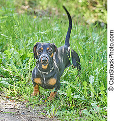 Dachshund dog on the road in the forest. summer