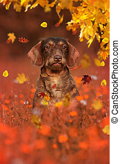 Dachshund dog sitting in autumn meadow