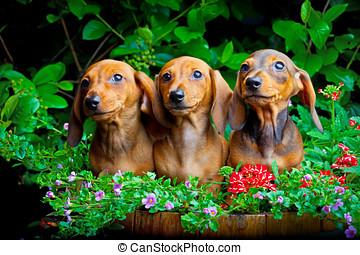 Dachshund Dog summer garden