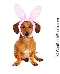 dachshund dog wearing bunny ears