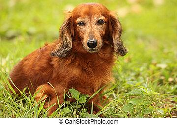 dachshund, draußen, closeup