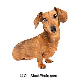 dachshund hund, porträt