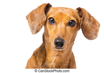 dachshund hund