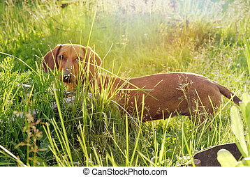 Dachshund in the grass