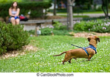 Dachshund in the grass on a long leash