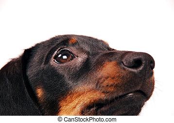 dachshund, junger hund