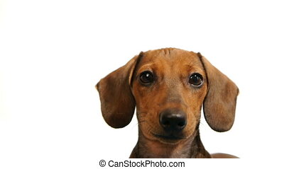 dachshund., kopf, -, hunden, hd
