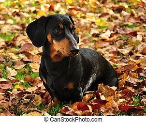 Dachshund - Little black dachshund on autumn garden with...
