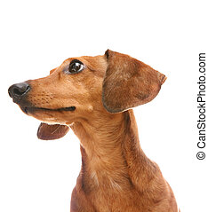 dachshund looking to a side