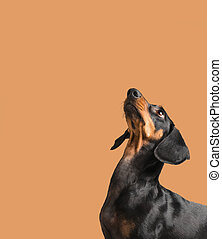 Dachshund looking up - Cute dog dachshund looking up on...