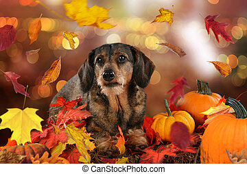 Dachshund lying in autumn leaves