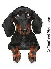 dachshund., mini, gros plan, portrait