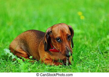 dachshund on grass - dachshund on green grass close up