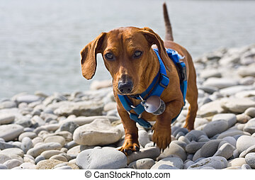 Dachshund on the rocks - A miniature Dachshund trying to ...