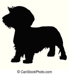 dachshund, perro purebred, wirehaired