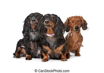 dachshund, perros